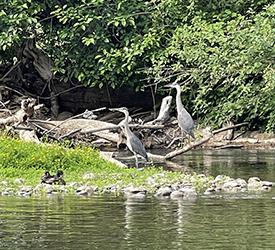 Green Island Herons
